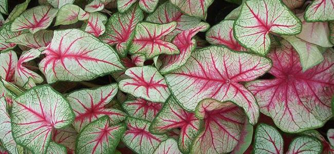 piante da appartamento tossiche Caladio