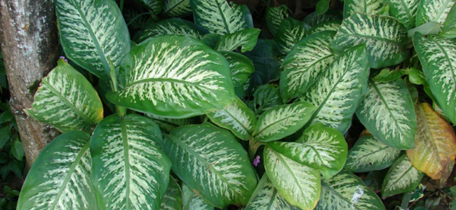 piante da appartamento tossiche Dieffenbachia