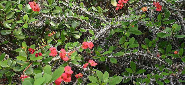 piante da appartamento tossiche Euphorbia milii