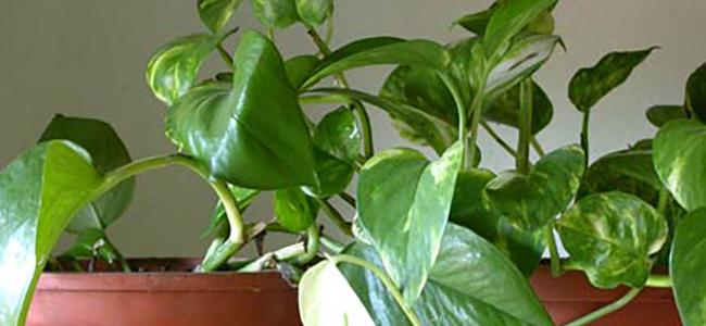 piante da appartamento tossiche Pothos dorato