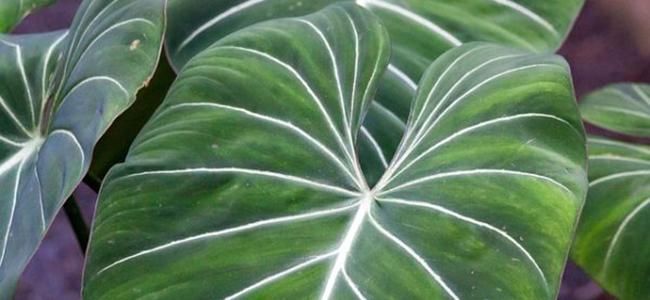 piante da appartamento tossiche filodendro