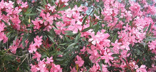piante da appartamento tossiche piante da appartamento tossiche oleandro